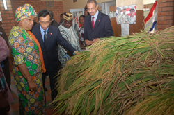 President Sirleaf inspects the first harvest of rice grown using Hybrid Rice Cultivation Technique.