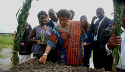 President Sirleaf Inspects a seed rice project.